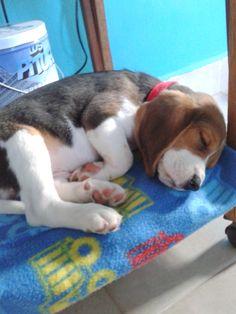 #Beagle #Teo