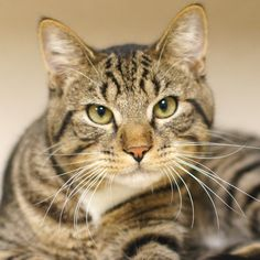 """With a handsome face and gorgeous markings, Bradley is one good looking guy!  Standing there at the front of his condo on long limber legs, he stretches front paws forward with a welcoming bow.  """"So pleased to make your acquaintance"""", he seems to say with a genuine  smile.  And you are pleased right back, a more congenial cat you will be hard pressed to meet.  Bradley has a playful curiosity typical of a happy young cat."""