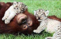 Orangutan and baby tigers