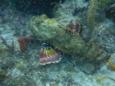 Scorpion Fish #KeyLargo #Florida