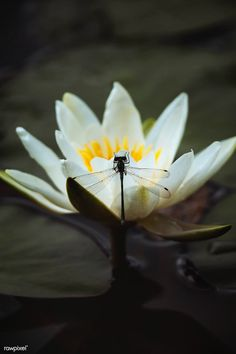 White water lily in a lake | premium image by rawpixel.com / Jack Anstey Butterfly On Flower, White Lily Flower, Flower Stamen, Fuchsia Flower, Pink Rose Bouquet, Tiny White Flowers, Pea Flower, White Lilies, Beautiful Flowers