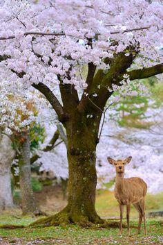 春日野桜 | 自然・風景 > その他の写真 | GANREF