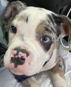 Cocker Spaniel, Dog Mom, Husky, Pitbulls, Puppies, Guys, Animals, Aesthetics, Future