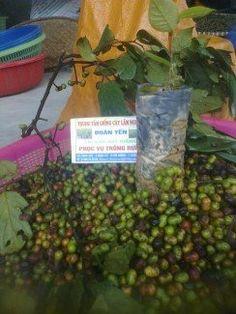 Chú ý! Đã tìm ra Hạt giống cây xoan đào chính gốc tại Tuyên Quang