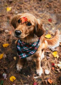 Astonishing Everything You Ever Wanted to Know about Golden Retrievers Ideas. Glorious Everything You Ever Wanted to Know about Golden Retrievers Ideas. Cute Puppies, Cute Dogs, Dogs And Puppies, Doggies, Awesome Dogs, Animals And Pets, Cute Animals, Golden Retrievers, Dog Behavior