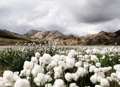 """'Cotton Grass"""" with the colourful rhyolite mountains in the distance. Photo taken by Jennifer Jesse at Landmannalaugar, Iceland. of the day national geographic Iceland Photo – Landscape Wallpaper – National Geographic Photo of the Day Photos Du, Cool Photos, Amazing Photos, National Geographic Fotos, Places To Travel, Places To See, Travel Destinations, Places Around The World, Around The Worlds"""