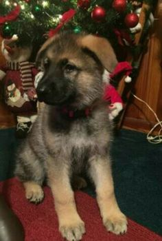 cute Christmas picture of gsd puppy Gsd Puppies, Christmas Pictures, Dogs, Cute, Animals, Xmas Pics, Animales, Animaux, Christmas Images