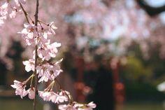 sakura at the brooklyn botanic garden