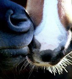 Horse nose kiss, awe...