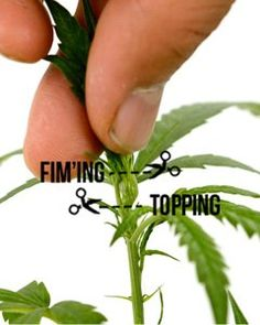 Growing Weed Indoors, Growing Greens, Growing Herbs, Cannabis Cultivation, Cannabis Plant, Hydroponic Grow Systems, Hydroponic Growing, Gardens, Plants