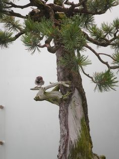 Sparrow in bonsai