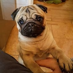 Pick me up human, please pick me up!  #mauricethepug #pickmeup #pickmeuphuman #cute #hug #pug #mops #puppy #dog #letmegiveyoulove #pickme
