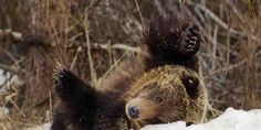 Justice for Bear #760: Young Grizzly Killed By Wyoming Game and Fish...We Want Answers!