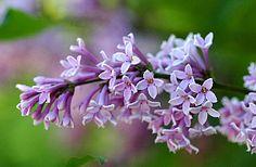 Unkarinsyreeni, Syringa josikea, ungersk syren Syringa, Garden, Plants, Garten, Lawn And Garden, Gardens, Plant, Gardening, Outdoor
