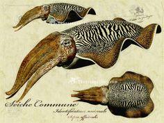 http://www.ericthorsengallery.com/zenstore/images/cuttlefish-by-Eric-Thorsen.jpg