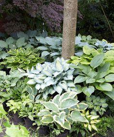 Spring Hill Nursery Mixed Shade-Loving Hosta Plug - Set of 10 Hosta Plants, Shade Plants, Garden Plants, Shade Landscaping, Garden Landscaping, Outdoor Plants, Outdoor Gardens, Hosta Varieties, Spring Hill Nursery