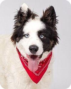 Border Collie/Australian Shepherd Mix Dog for adoption in Pt. Richmond, California - MS. VALENTINE