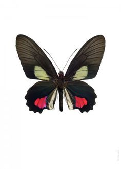 Parides vertumnus A Cool Insects, Bugs And Insects, Butterfly Black And White, Blue Butterfly, Cover Pics For Facebook, Pictures Of Insects, Insect Art, Vintage Butterfly, Beautiful Butterflies