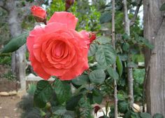 Consider roses for your small space garden. Planting in containers gives you portability and flexibility. Learn more at The Home Depot's Garden Club.