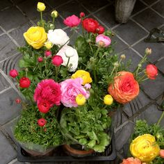 Plant natural compact,does not require the use of growth regulators. In autumn, early spring watch.Germination temperature is about 15 degrees, the temperature is too high the seeds germination. Seed Germination, Ranunculus, Flower Seeds, Hanging Baskets, Something Blue, Bonsai, House Plants, Home And Garden, Backyard