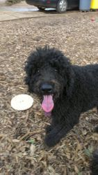 Frances is an adoptable Standard Poodle Dog in Alpharetta, GA. Frances is a young jet black female very sweet standard poodle girl. She was abandoned as a youngster in her backyard along with her brot...