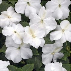 Outsidepride Impatiens Baby White - 1000 Seeds Outsidepride is a family owned U. USDA Zones: 3 - 10 Height: 8 - 10 inch annual Bloom Color: White Sowing Rate: 6 - 8 seeds per plant Planting Bulbs, Planting Flowers, Double Impatiens, North Facing Garden, Growing Gardens, Midnight Garden, Shade Flowers, Seeds For Sale, Moon Garden