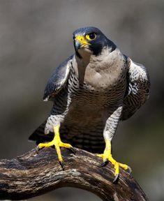 Fabulously majestic Peregrine Falcon