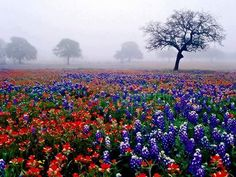 Texas bluebonnets and indian paintbrushes. www.texasgotitright.com