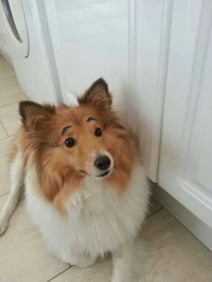 sheltie with eyebrows