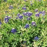 Bluebonnets still blooming around Houston  I guess they loved all the rain bluebonnets statefloweroftexas flower memorialpark saturday houston htx houstonblogger