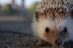 Litle Hedgehog