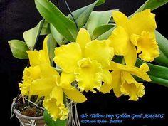 DUANGDARA SRIPINYO (DUANG) - Google+ Blc. Yellow Imp 'Golden Grail' AM-AOS by Mauro Rosim on Flickr