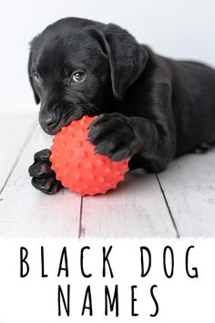 Black Dog Names – Over 200 Inspiring Ideas for Naming Your Pup Cute Labrador Puppies, Lab Puppies, Black Dog Names, Best Puppy Names, Black Labrador Retriever, Doberman Dogs, Labradors, Dog Quotes, Dog Care