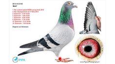 Duurste duif ooit verkocht voor 310.000 euro