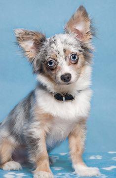Blue-eyed Chihuahua.