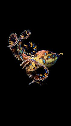 -Blue-ringed octopus- is 12 to 20 cm to 8 inches), but its venom is powerful enough to kill humans. There is no blue-ringed octopus antivenom available. The octopus produces venom that contains tetrodotoxin, hyaluronidase,. Kraken Octopus, Le Kraken, Fauna Marina, Motif Art Deco, Beneath The Sea, Water Animals, Underwater Life, Ocean Creatures, Sea And Ocean