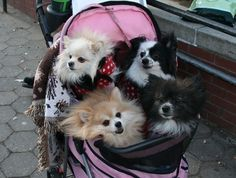 First off, this many dogs, always a good idea. Second idea, stroller...yes...keepin it classy!