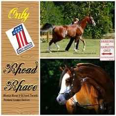 Rhoad Rhave (Rhocky Rhoad X GS April Tscent) purebred Arabian stallion.  www.chasenit.com
