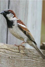 House Sparrow (Passer domesticus)- spotted and Identified 4.30.2014