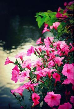 most beautiful pink flowers Unusual Flowers, Beautiful Flowers Garden, Big Flowers, Types Of Flowers, Amazing Flowers, Pretty Flowers, Window Box Flowers, Anemone Flower, Flower Seeds