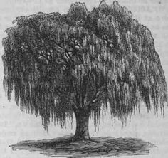 Google Image Result for http://chestofbooks.com/reference/American-Cyclopaedia-12/images/Weeping-Willow-Salix-Babylonica.jpg