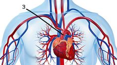 Cardiovascular disease is often marked by clogged arteries. But not all cardiovascular disease presents in this classical manner. What Causes Heart Attacks, Chennai, Interventional Cardiology, Clean Arteries, Clogged Arteries, Garlic Benefits, Krill Oil, Cardiovascular Disease, Nursing