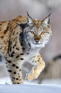 we are proud that this animal is still living on earth *Eurasian Lynx Walking
