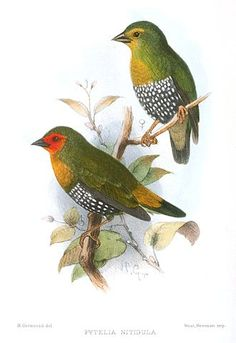 The green-backed twinspot (Mandingoa nitidula) is an estrildid finch found in sub-Saharan Africa.  (330×480)