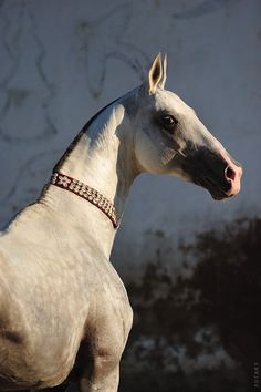 Akhal Teke-Originated in Turkmenistan Some individuals carry a gene that gives their coat a metallic appearance.