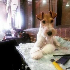 Fox Terriers, Wirehaired Fox Terrier, Wire Fox Terrier, I Love Dogs, Puppy Love, Wire Haired Terrier, Scottish Terriers, Scottie, Beautiful Dogs