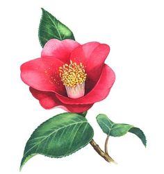 Plant Illustration, Botanical Illustration, Watercolor Illustration, Botanical Flowers, Botanical Prints, Watercolor Flowers, Watercolor Art, Flower Crew, Japanese Art Styles