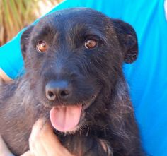Charming boy, medium-size Heinz 57 with Scottish Terrier, neutered, 4 years.  Alastair has a terrific smile and shines when he knows you're happy with him.  He is housetrained.  He is good with kids.  He may need a one-dog household due to fighting with another dog in his previous household.  Very secure home and yard needed for his safety.