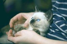 Kätzchen, Thai Katze, Olubye Augen