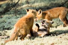 Foxy Friday!  Photographing wildlife can be so rewarding!  Mom left me babysitting these three and they were nothing much mischief.  Curious about the world and always play fighting with each other.  This fighting is the first stages of their preparation for rigours and perils of live in their own.  #foxyfriday #fox #foxkits #babyfox #fighting #algonquin #epicalgonquin